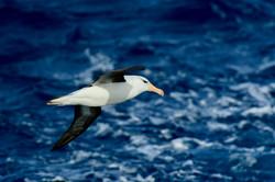 South Georgia Blackbrowed Albatross