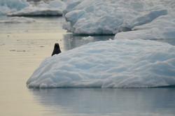 Seal Greenland