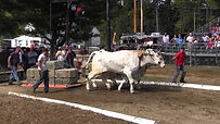 oxen pulls.jpg