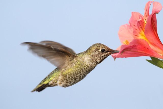 Hummingbirds Beat Top Gun Fliers—Resilient Mother Nature!