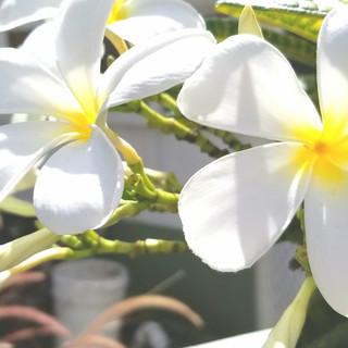 smell the frangipani
