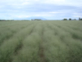 Indian Ricegrass.JPG