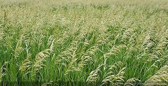 Smooth Bromegrass.jpg