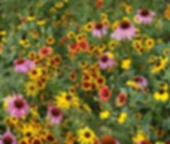 Rocky Mountain Wildflower mix.jpg