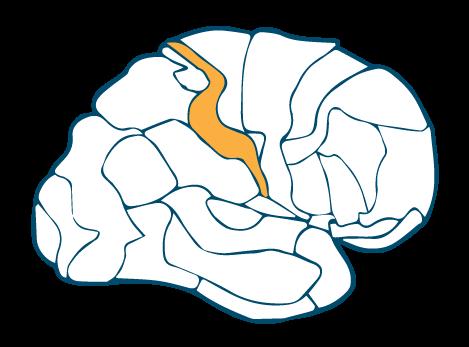 Primary Somatosensory Cortex