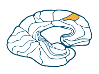 Prefrontal Association Cortex
