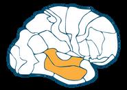 Temporal Auditory Cortex