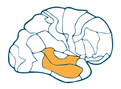 Temporal Auditory Cortex