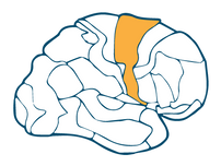 Motor Association Cortex