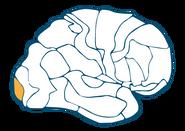 Occipital Cortex