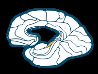 Parahippocampal Gyrus