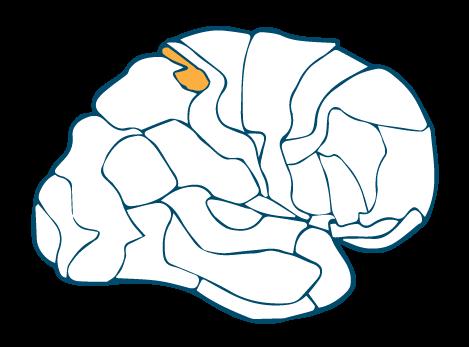 Somatosensory Association Cortex