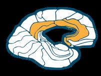 Cingulate Gyrus