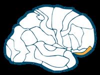 Frontal Association Cortex