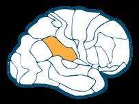 Inferior Parietal Lobe