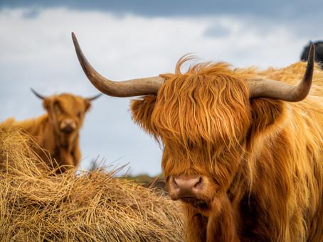 Skye Highland Cow Locations
