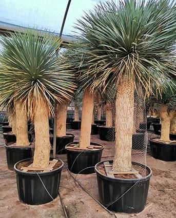 Yucca rostrata de grande taille à la vente dans une pépiniére espagnole