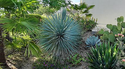 Yucca rostrata dans un jardin près Orléans : ce sujet d'une dizaine d'années a développé un stipe d'une trentaine de centimètres