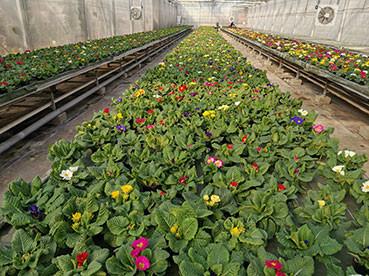 Primula en pleine floraison début février chez Anadia