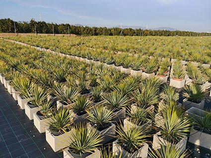 Parcelle de Yucca rostrata dans une pépiniére espagnole : des milliers de plantes sont cultivées
