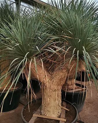 Magnifique Yucca rostrata à plusieurs têtes dans une pépiniére espagnole