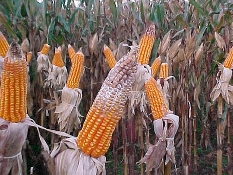 Novo método auxilia no controle de doenças causadas por fungos em milho