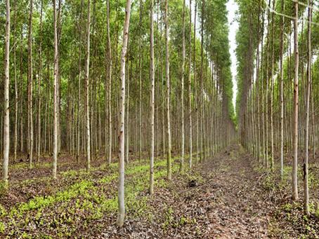 Florestas de eucalipto contribuem na mitigação de gases de efeito estufa