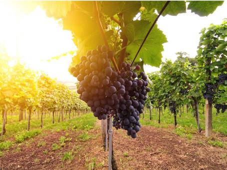 A Produção de Uva: Cultivo e Qualidade