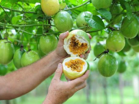 Fruticultura:  a importância do Maracujá no país
