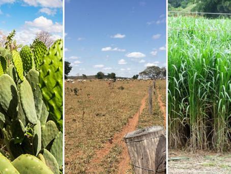 Palma forrageira e Capim Capiaçu: Opções de alimentos para o gado durante a seca