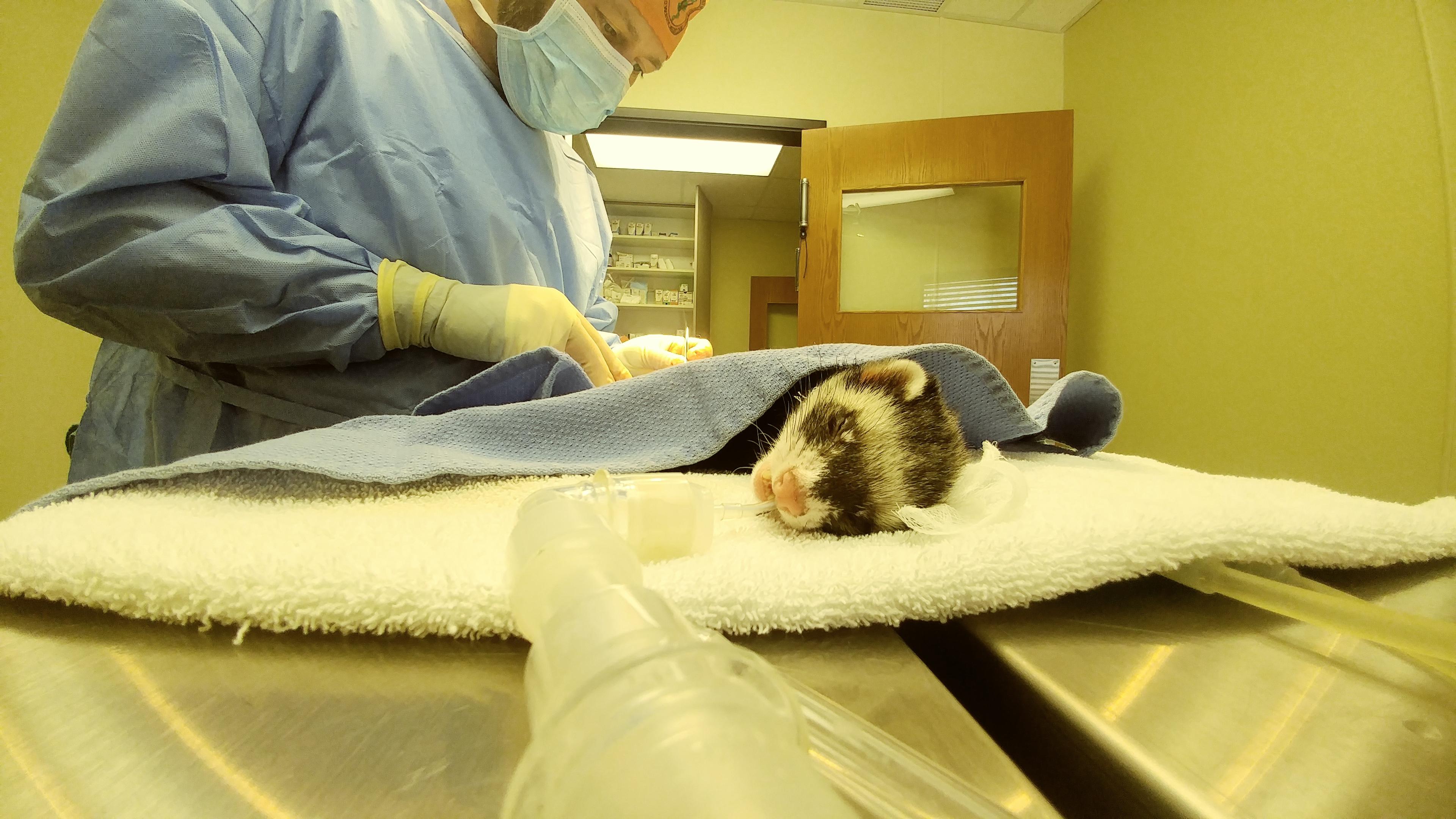 Ferret surgery