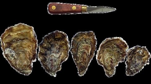 Les différentes tailles d'huître