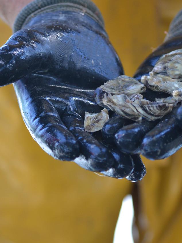 Huîtres pré-grossies
