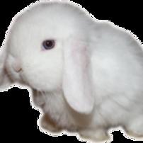 Minilop Albino