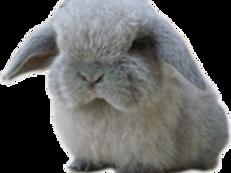 Minilop Grey