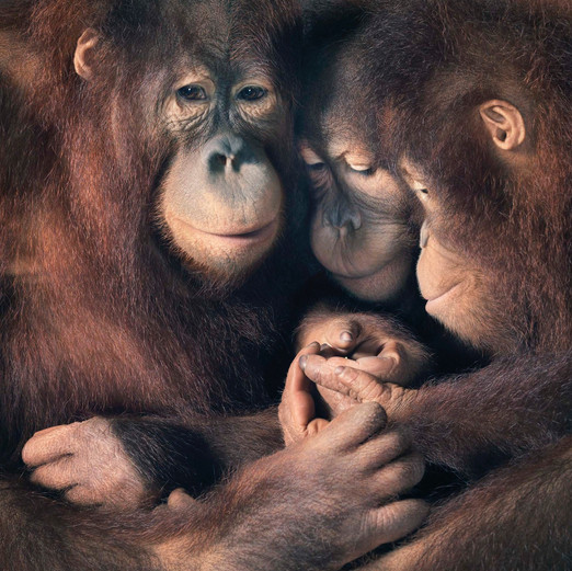 ©Tim Flach, More than Human, Family Group