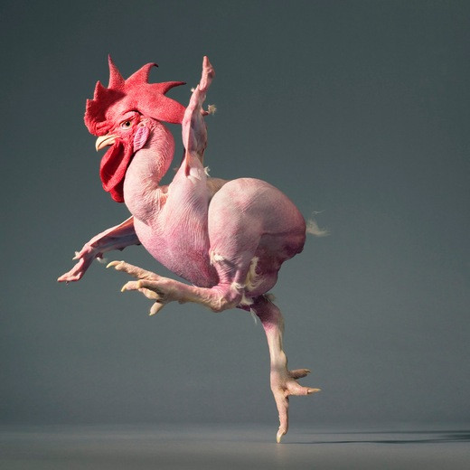 Featherless chicken, More than human © Tim Fach