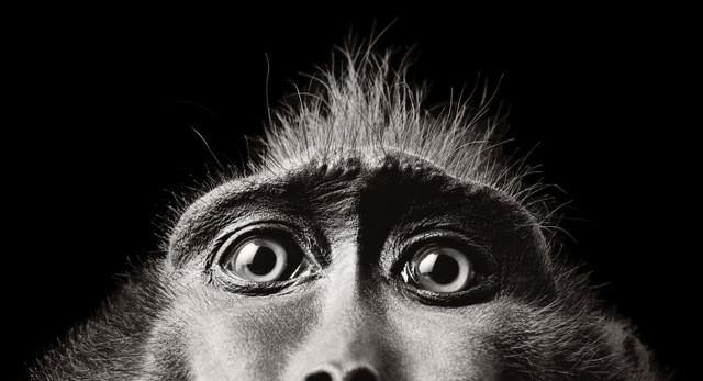 Monkey Eyes, More than human © Tim Flach