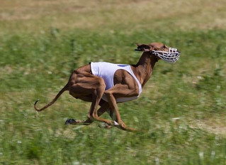 Norwegian coursing champion