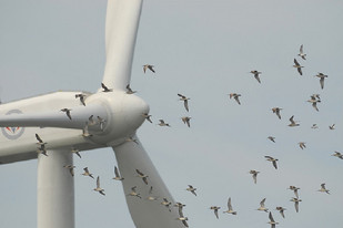 As turbinas eólicas matam pássaros?