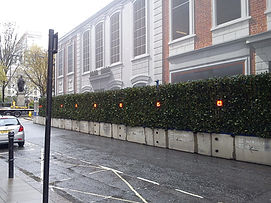 Ivy screens in St. George's Street before