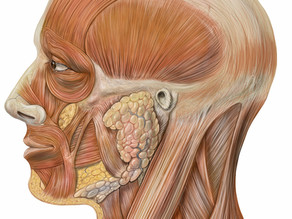 Chew on This: Muscles of the Jaw