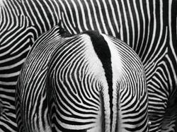 張國耀《斑馬斑馬 Zebra》