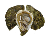 Image of open and closed oysters
