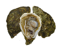 oyster 2.png