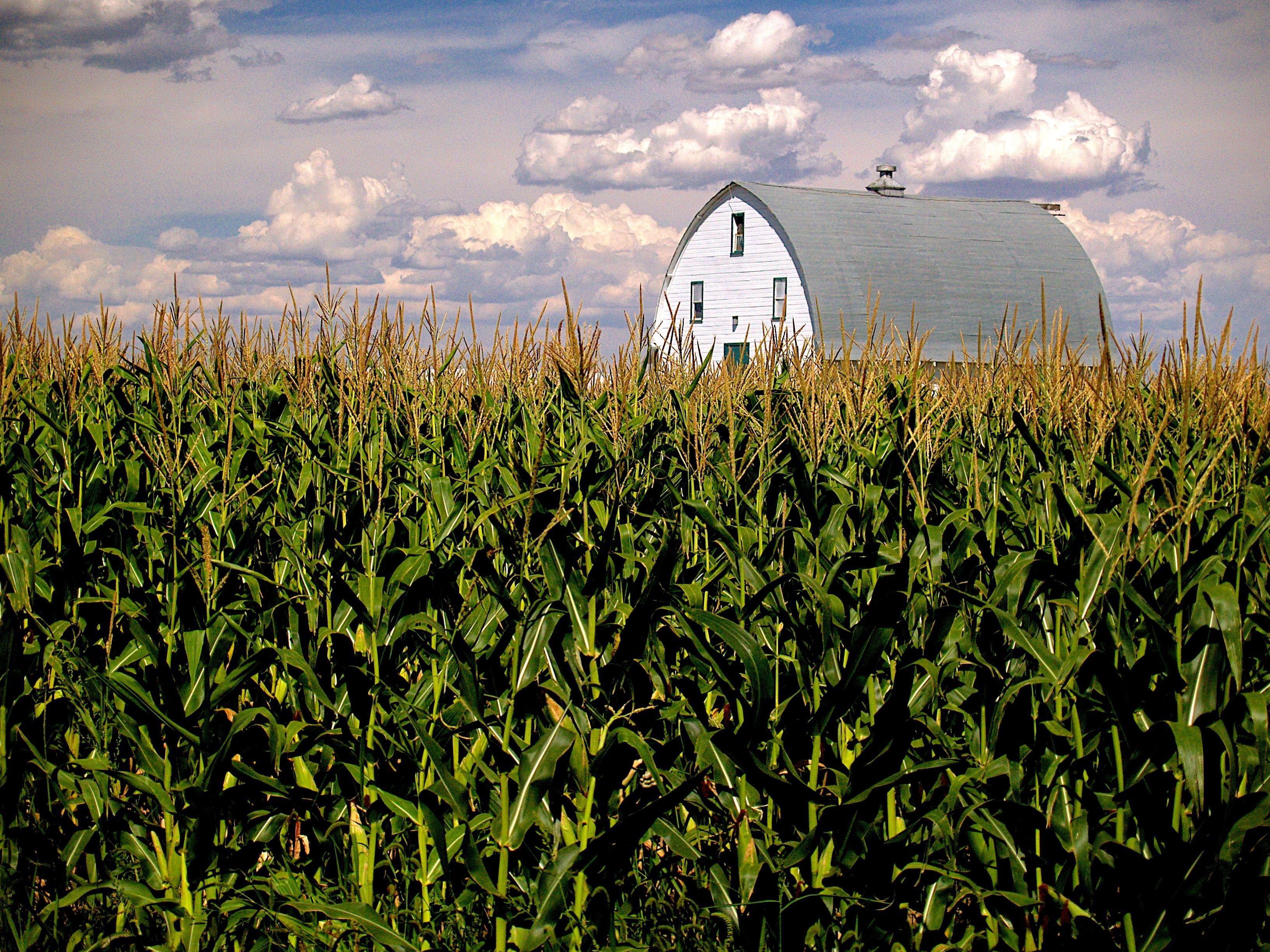 corn-640354