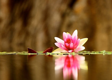 Open Magenta and Gold Lotus with Golden Background
