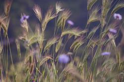 Kefalonian Springflowers