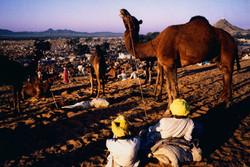 Puskkar camel fair Final