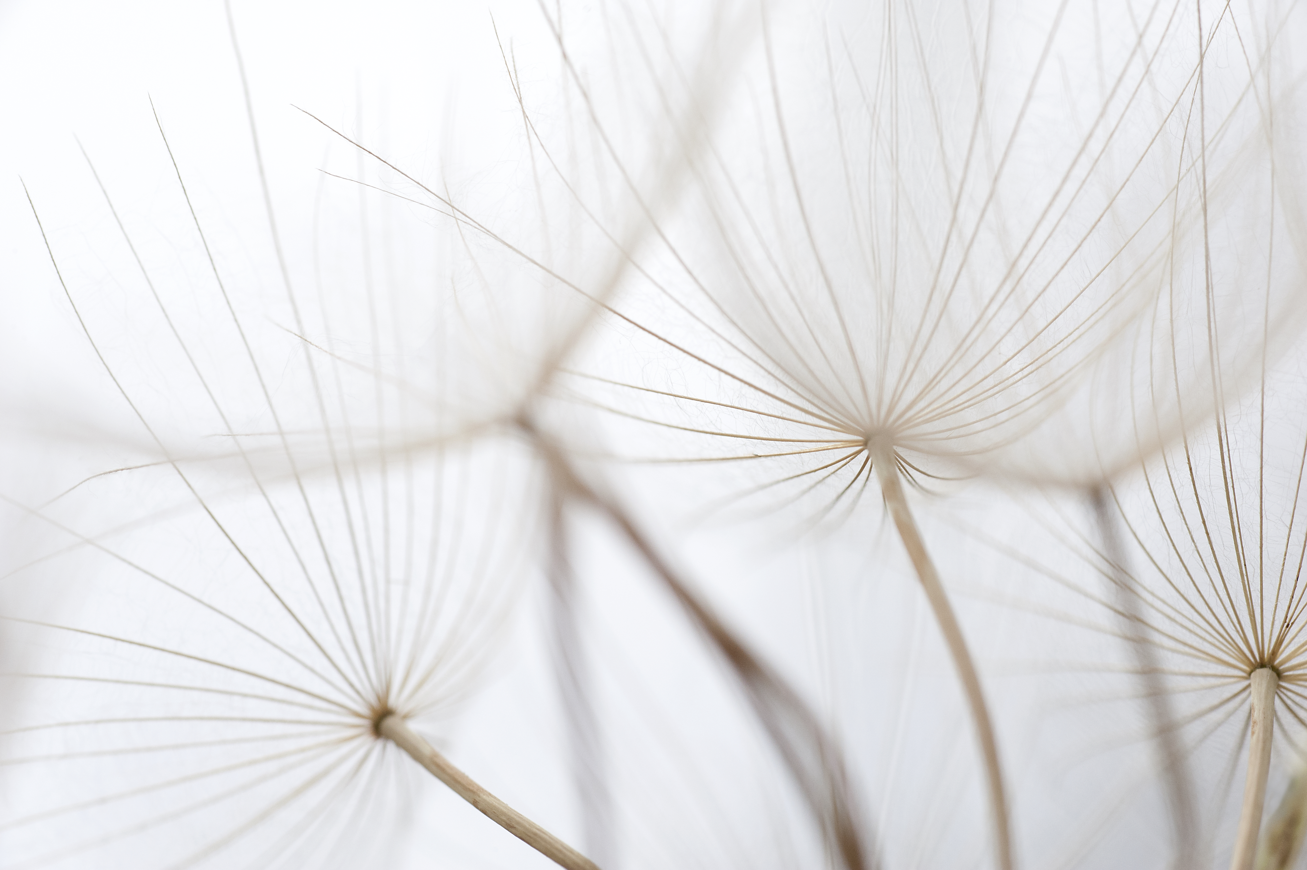 Dandelion Umbrella Seeds